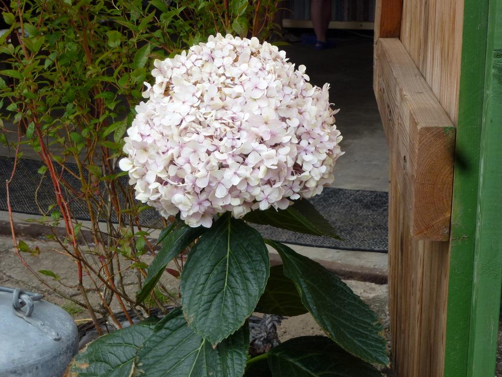 En hortensia